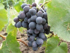 Від навантаження лози залежить смак винограду