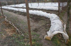 Обов`язково потрібно вкривати виноград