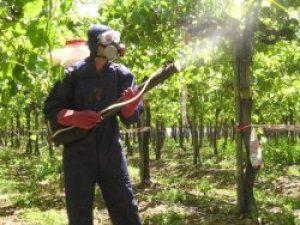 Обробка кущів допоможе захистити урожай і рослина
