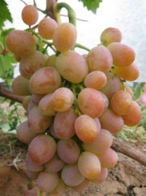 Сорт винограду «Хамелеон»