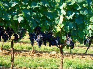 Садимо виноград правильно