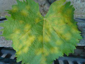 Потрібно проводити профілактику винограду, щоб він не захворів