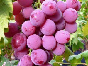 Сорт винограду «Водограй»