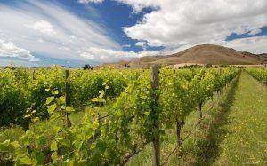 Виноград завжди потребує вологи