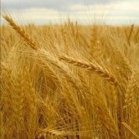 Сорти і гібриди пшениці озимої