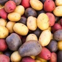 Сорти картоплі, які підходять для степу
