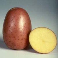 сорт картоплі Bellarosa