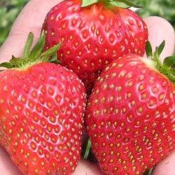 сорт полуниці