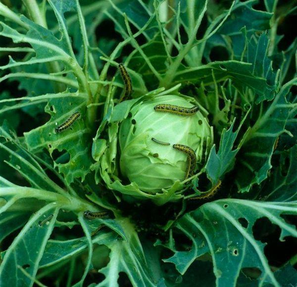 Зірвані овочі продовжують жити по біологічному годиннику