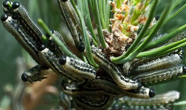 Понад 95 видів ентомофагів розвиваються за рахунок пильщиків.
