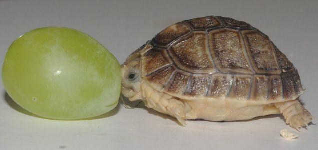 Місяць тому в англійському зоопарку Whipsnade Zoo з`явився на світло самець Єгипетської черепахи вагою всього шість грамів і розмірами трохи більше виноградини. Його назвали крихітних Тімом. Протягом наступних 10 років вага черепахи повинен досягти 500 грамів, а довжина - 10 см.