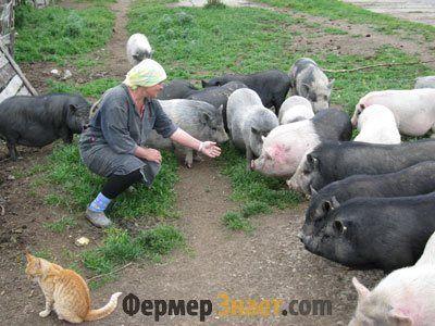 Домашнє розведення свиней