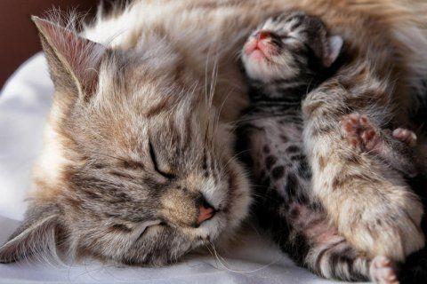 Поради по годівлі кішки після пологів - чим і як