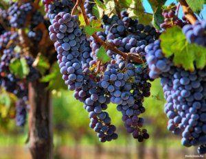 Поради щодо правильної заготівлі живців винограду восени