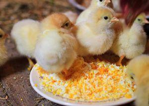 Поради по догляду за добовими курчатами