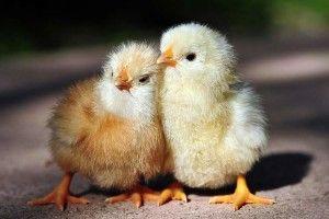 Фото двох жовтих курчат