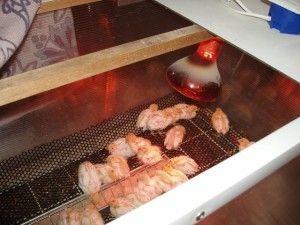 Фото брудера для курчат