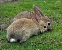 Парування кроликів