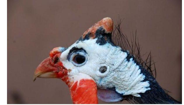 Фото голови самця цісаря