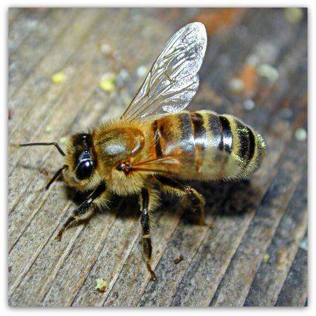Среднерусская порода бджіл