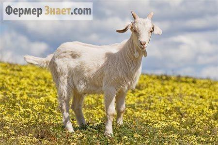 Середньодобовий удій з однієї кози і як його можна збільшити