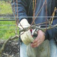 Терміни обрізки винограду