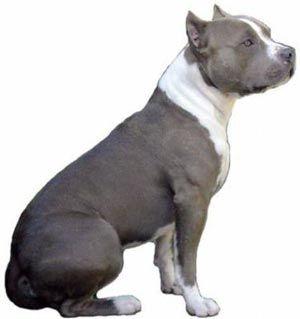Стаффордширський тер`єр: характер собаки і поради починаючому собаківникові.