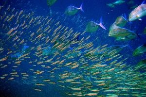Стайня акваріумні рибки: види і короткий опис