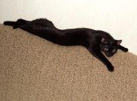 бомбейська кішка довжина