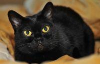 бомбейська кішка характеристика
