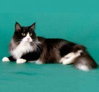 норвезька кішка стандарт