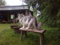 Норвезька лісова кішка розмір