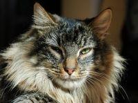 Норвезька лісова кішка характеристика