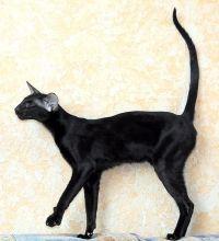 орієнтальна кішка стандарт
