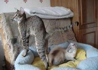орієнтальна кішка зростання