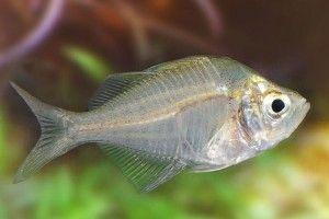 Скляний окунь - акваріумна рибка