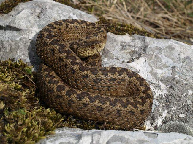Степові гадюки, так само, як і інші види змій, поступово зникають через сільськогосподарської оранки земель.