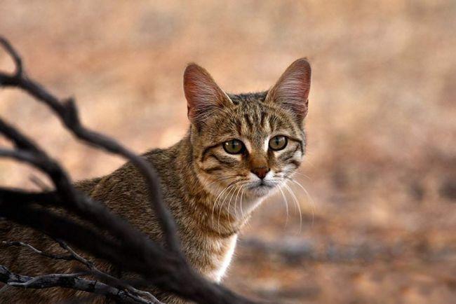 Степовий кіт (Felis silvestris lybica).