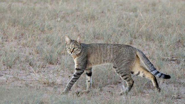 Степова кішка мешкає в степових, пустельних і місцями гірських районах Африки.