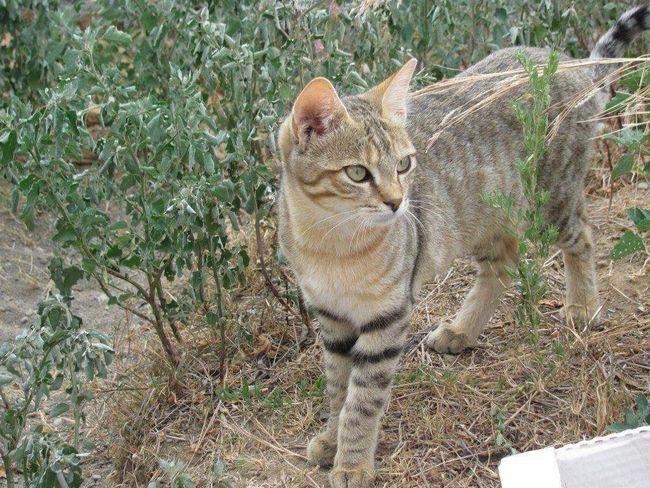 Під час зіткнень з ворогом степова кішка піднімає шерсть, щоб здаватися більше і залякати противника.