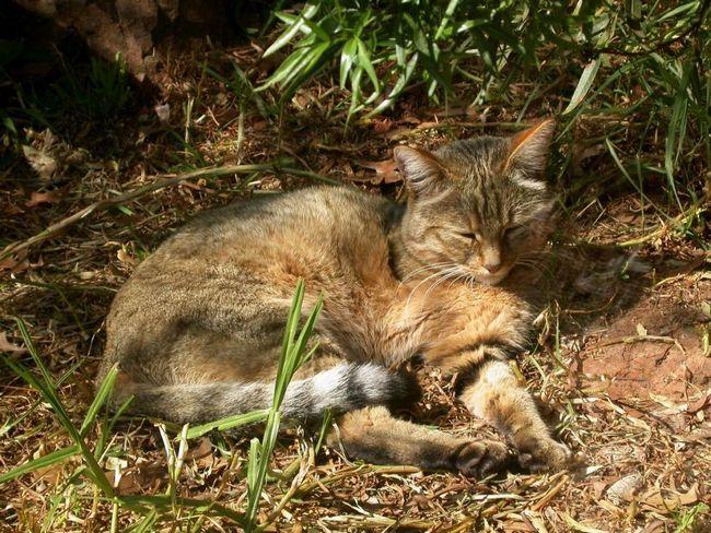 Близько 10 000 років тому 5 степових котів були одомашнені на Близькому Сході.