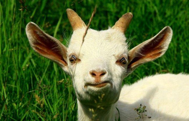 коза, розведення кіз, кіз, козяче молоко