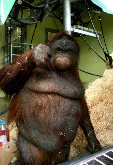 орангутанг на прізвисько Ошин