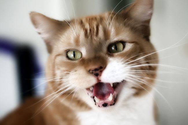 Стоматит у кішок: симптоми і лікування