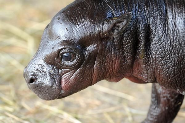 У зоопарку міста Майамі народився карликовий бегемот