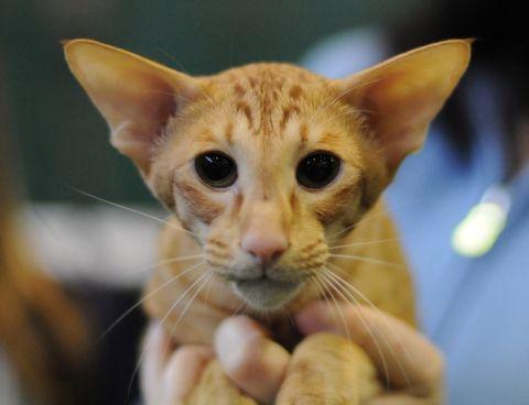 яванська кішка