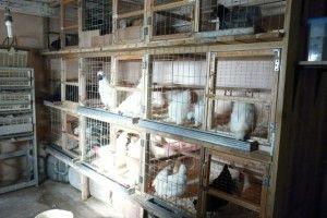 Кури в клітинах в курнику