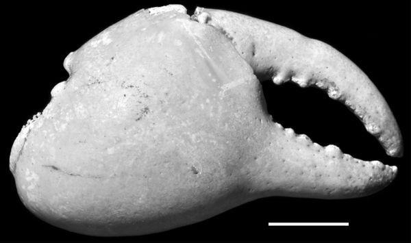 Клешня вимерлого сухопутного гавайського краба (фото авторів дослідження).
