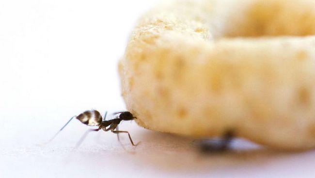 Божевільні мурахи співпрацюють для транспортування важких вантажів