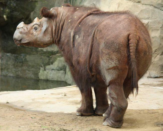 Суматранський носоріг (Dicerorhinus sumatrensis).